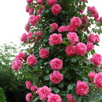 【アウトレット】苗B バラ苗 レオナルドダビンチ 6号スリット鉢つるバラ(CL) 返り咲き ピンク系