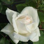 バラ苗 ホワイトクリスマス 国産大苗6号スリット鉢ハイブリッドティー(HT) 四季咲き大輪 白系