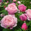 バラ苗 シャンテロゼミサト 国産新苗4号鉢 四季咲き大輪 ピンク系 フレンチローズ(デルバール)
