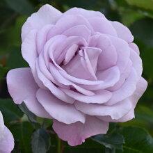 バラ苗ラフィーネ国産大苗7号角鉢四季咲き紫系(ローズなかしま)