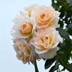 バラ苗 シリウス 国産大苗6号スリット鉢つるバラ(CL) 返り咲き 中輪 白系
