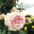 バラ苗 ルミナスピラー 国産大苗6号スリット鉢つるバラ(CL) 返り咲き 大輪 ピンク系