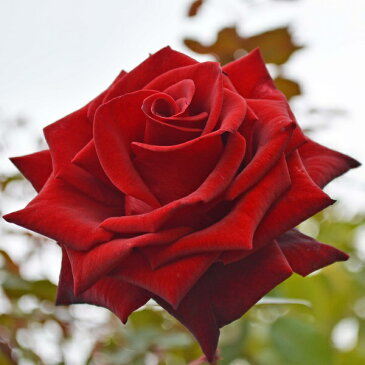 【アウトレット】苗B バラ苗 ミスターリンカーン 6号スリット鉢ハイブリッドティー(HT) 四季咲き大輪 赤系