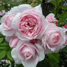 バラ苗フレンチローズ(デルバール)つるナエマ大苗6号鉢四季咲き大輪ピンク系