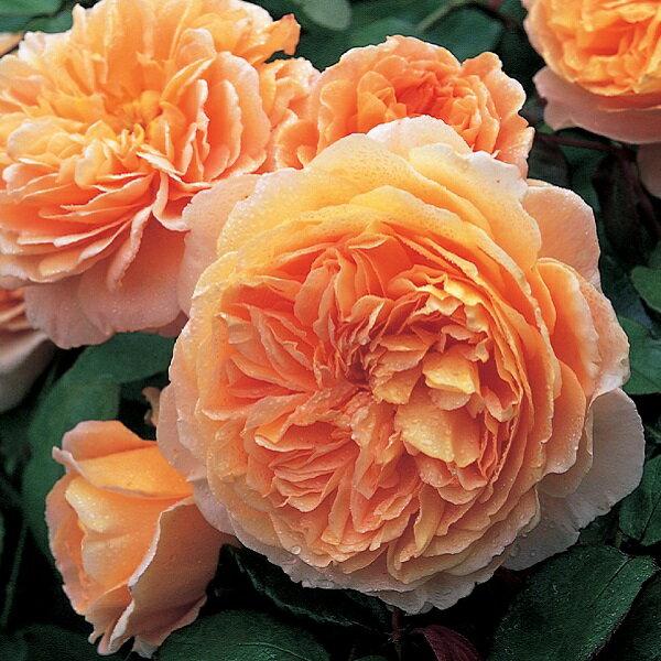 デビッドオースチンのバラ クラウンプシンセスマルガリータ
