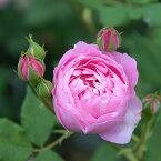 【アウトレット】苗B バラ苗 ラレーヌヴィクトリア(ラレーヌビクトリア) 6号スリット鉢 つるバラ返り咲き ピンク系