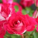 バラ苗 ギィダルメ 国産大苗オリジナル角鉢7号 四季咲き中輪 半つる 赤色系 ギヨーローズ(フレンチローズ)