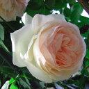 【人気品種!クラシカルな花形と繊細な色あいが調和したとても美しい】予約苗 バラ苗 ピエール...