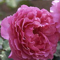 苗 バラ苗 イブピアッチェ 国産新苗4号ポリ鉢ハイブリッドティー(HT) 四季咲き大輪 ピンク系