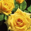 バラ苗 ハイブリッドティー (HT) サン・ガッディス 大苗6号鉢 四季咲き大輪 黄色系