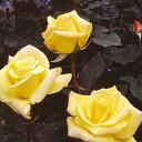 バラ苗 ハイブリッドティー (HT) ヘルムット・シュミット 大苗裸苗 四季咲き大輪 黄色系