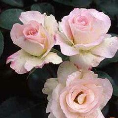 【やわらかににじむ桃色が大変愛らしく人気があります。株はコンパクトで強健です 】予約苗 バ...