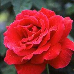 バラ苗 ミスターリンカーン 国産大苗6号鉢ハイブリッドティー(HT) 四季咲き大輪 赤系