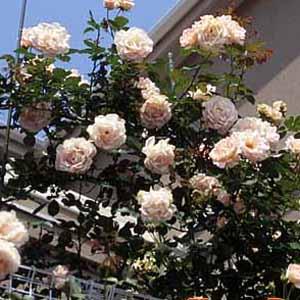 バラ苗 ロココ 国産大苗6号鉢つるバラ(CL) 返り咲き オレンジ系