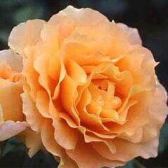 【強健で耐病性に優れ、オールドローズのように波うつ花びらが優美です】予約苗 バラ苗 万葉(...
