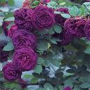 バラ大苗 モダン・シュラブローズ みかも 大苗6号鉢 紫系 小林森冶氏作出品種