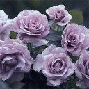 バラ苗 ハイブリッドティー (HT) わたらせ 大苗6号鉢 四季咲き大輪 紫系 小林森治氏作出品種