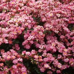 バラ苗 ラベンダードリーム 国産新苗4号ポリ鉢修景用バラ 四季咲き 紫系