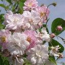 バラ苗 ポールズヒマラヤンムスク 国産大苗6号スリット鉢 一季咲き小輪 ピンク系