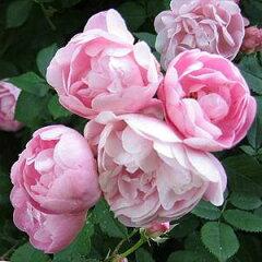 バラ苗 ローブリッター 国産大苗6号スリット鉢つるバラ(CL) 返り咲き ピンク系