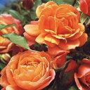 【明るく輝くような花を株いっぱいに咲かせ、コンパクトなため省スペースでも栽培可能】予約苗 ...