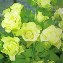 【開花につれて花色が淡緑色に変わる「緑色のバラ」。花もちは非常によく、株は強健】予約苗 バ...