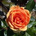 バラ苗 ハイブリッドティー (HT) アシュラム 大苗6号鉢 四季咲き大輪 オレンジ系