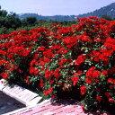 バラ苗 ラセビリアーナ 国産大苗6号鉢修景用 四季咲き中輪 赤系