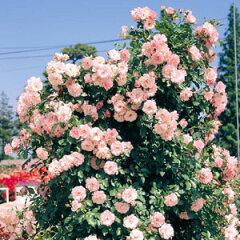 バラ苗 ローゼンドルフシュパリースホップ 国産大苗6号スリット鉢つるバラ(CL) 四季咲き ピンク...