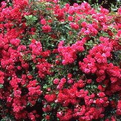 バラ苗 スーパーエクセルサ 国産大苗裸苗つるバラ(CL) 返り咲き ピンク系