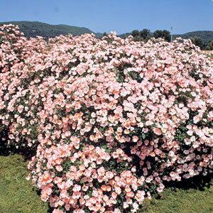 【淡いピンク色の花が咲き誇り、大変可愛らしい印象です】バラ苗 ビンゴメイディランド 国産大...