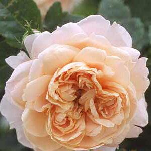 バラ苗 コレッタ 国産大苗6号鉢つるバラ(CL) 返り咲き ピンク系【花つきが良い、小型のつるバラ】