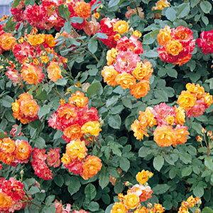 バラ苗 ふれ太鼓 国産大苗6号鉢つるバラ(CL) 四季咲き 複色系