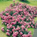 バラ苗 パルメンガルテンフランクフルト 国産大苗6号鉢修景用 四季咲き中輪 ピンク系