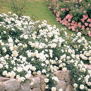 バラ苗 ホワイトメイディランド 国産新苗4号ポリ鉢修景用 四季咲き中輪 白系