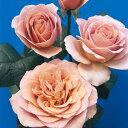 【深みを帯びたカフェラテのような花色は、シックで大人の魅力をかもし出します】予約苗 バラ苗...