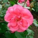 バラ苗 ピンクラセビリアーナ 大苗6号鉢 四季咲き中輪 ピンク系修景用