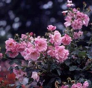 バラ苗 スパニッシュビューティ 国産大苗6号スリット鉢 つるバラ一季咲き ピンク系