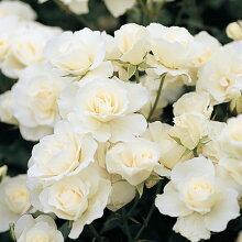 バラ大苗バラ長尺苗つるアイスバーグ大苗6号鉢返り咲き中輪白系