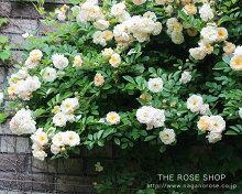 【アウトレット】苗Bバラ苗バフビューティー6号スリット鉢つるバラ(CL)返り咲きオレンジ系