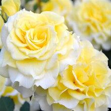 バラ苗ラ・ルーチェ国産大苗7号角鉢四季咲き黄色系(ローズなかしま)