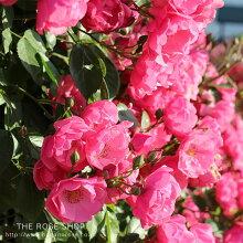 バラ苗つるアンジェラ国産大苗6号スリット鉢つるバラ(CL)四季咲き小輪ピンク系