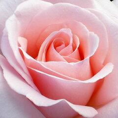 バラ苗 マイガーデン 国産新苗4号ポリ鉢ハイブリッドティー(HT) 四季咲き大輪 ピンク系