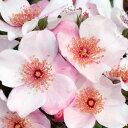 バラ苗 ピンクサクリーナ 大苗裸苗 四季咲き ピンク系 修景用  一重咲きの花弁が桜のようなハート型で、おしべも美しいバラです。<br /> 紅をさしたようなピンクの花弁が咲くにつれ桜色となり、散り方もひらひらと桜の花のように優雅です。花付きがよく、1房に1~15輪もの花がまとまって咲きます。黒点病に強いバラです。【バラ苗】【11月上旬から発送】】