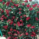 【春から秋まで花をお楽しみいただけるつるバラ品種】予約苗 バラ苗 ルージュピエールドゥロン...