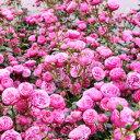 バラ苗 ポンポネッラ 国産新苗4号ポリ鉢 つるバラ(CL) 四季咲き ピンク系