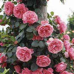 バラ苗 レオナルドダビンチ 国産大苗6号スリット鉢つるバラ(CL) 返り咲き ピンク系