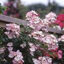 バラ苗 バレリーナ 国産大苗6号スリット鉢オールドローズ つるバラ 四季咲き ピンク系