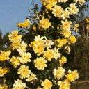 バラ苗 ゴールデンシャワーズ 輸入大苗7号鉢プレミアムウィークスローズ つるバラ(CL) 黄色系