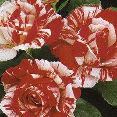 バラ苗 センチメンタル 国産大苗6号鉢四季咲き中輪 赤と白絞系